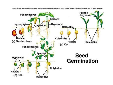 Endospermic seeds: The endosperm is present in the mature seed and serves as food storage organ. Testa and endosperm are the two covering layers of the.