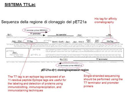 SISTEMA T7/Lac Sequenza della regione di clonaggio del pET21a Single-stranded sequencing should be performed using the T7 terminator and promoter primers.