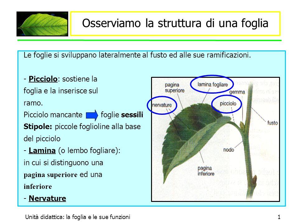 Unità didattica: la foglia e le sue funzioni2 Nervature Le foglie sono percorse da numerose nervature continuazione dei fasci conduttori che si trovano nel fusto.