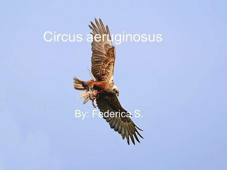 Circus aeruginosus By: Federica S.. Nome scientifico: Circus aeruginosus Nome sardo: arcireddu de paùli Nome inglese: marsh harrier Classe: Aves Ordine: