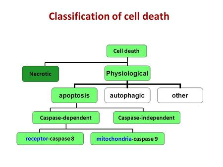Physiological apoptosisautophagicother Cell death Necrotic Caspase-dependentCaspase-independent receptor-caspase 8 mitochondria-caspase 9 Classification.