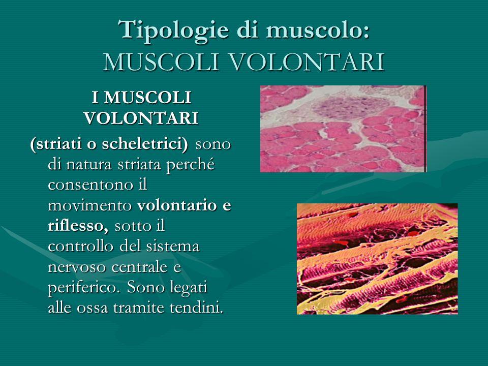 Tipologia di muscolo: MUSCOLI INVOLONTARI MUSCOLI INVOLONTARI (lisci a contrazione involontaria), di natura liscia, il cui funzionamento è quasi sempre indipendente dalla volontà.