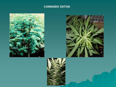 CANNABIS SATIVA.