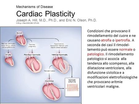 Mechanisms of Disease Cardiac Plasticity Joseph A. Hill, M.D., Ph.D., and Eric N. Olson, Ph.D. N Engl J Med 2008;358:1370-80. Condizioni che provocano.