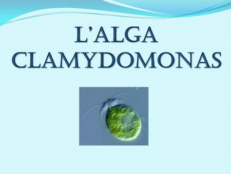 L'alga Clamydomonas.