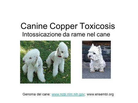 Canine Copper Toxicosis