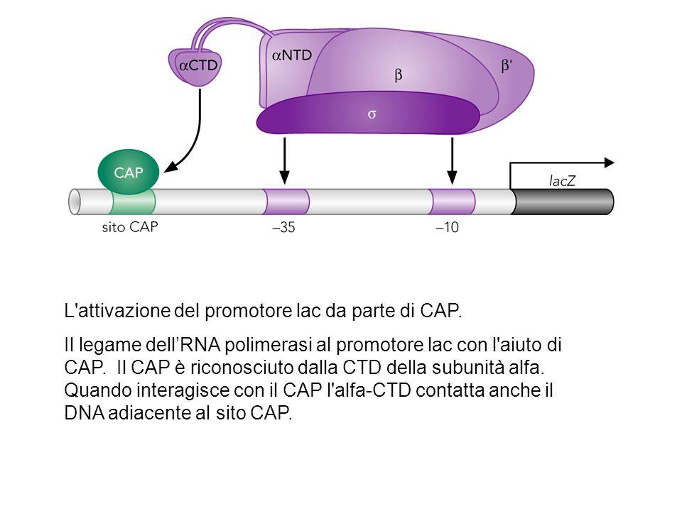 struttura del complesso CAP-alfa CTD-DNA.CAP è mostrato legato al suo sito sotto forma di dimero.