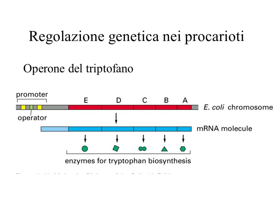 I principi della regolazione trascrizionale Nei batteri i geni sono controllati principalmente da molecole dellambiente, che agiscono su proteine regolatrici: attivatori o repressori.