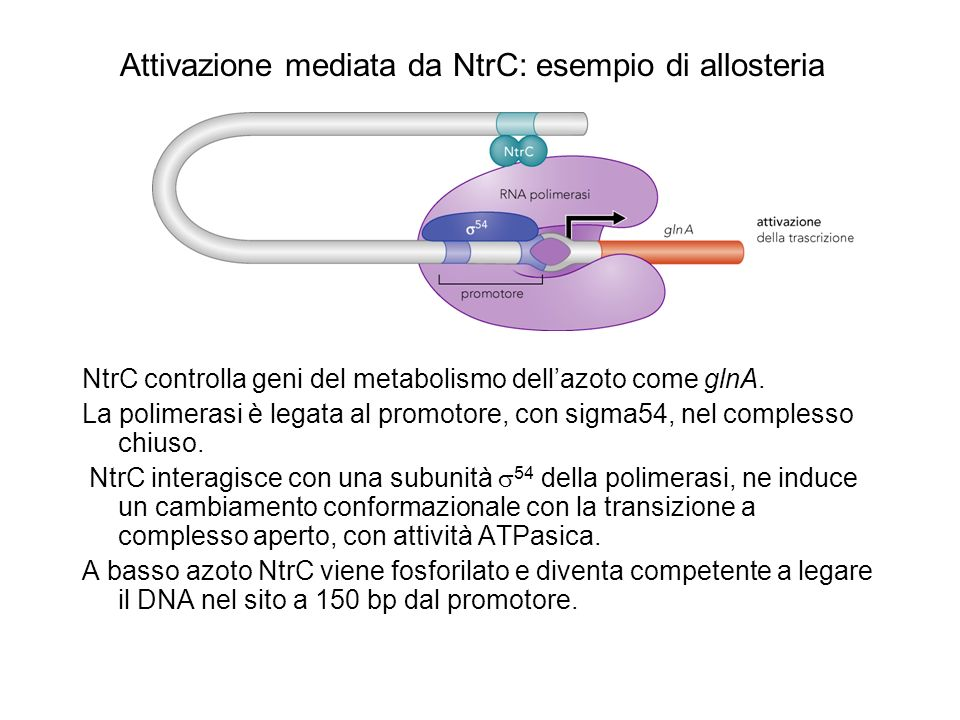 MerR ruota il DNA promotore Gli elementi -10 e -35 del promotore merT sono esposti su due facce diverse della doppia elica perché distano 19 invece delle 15-17 bp.