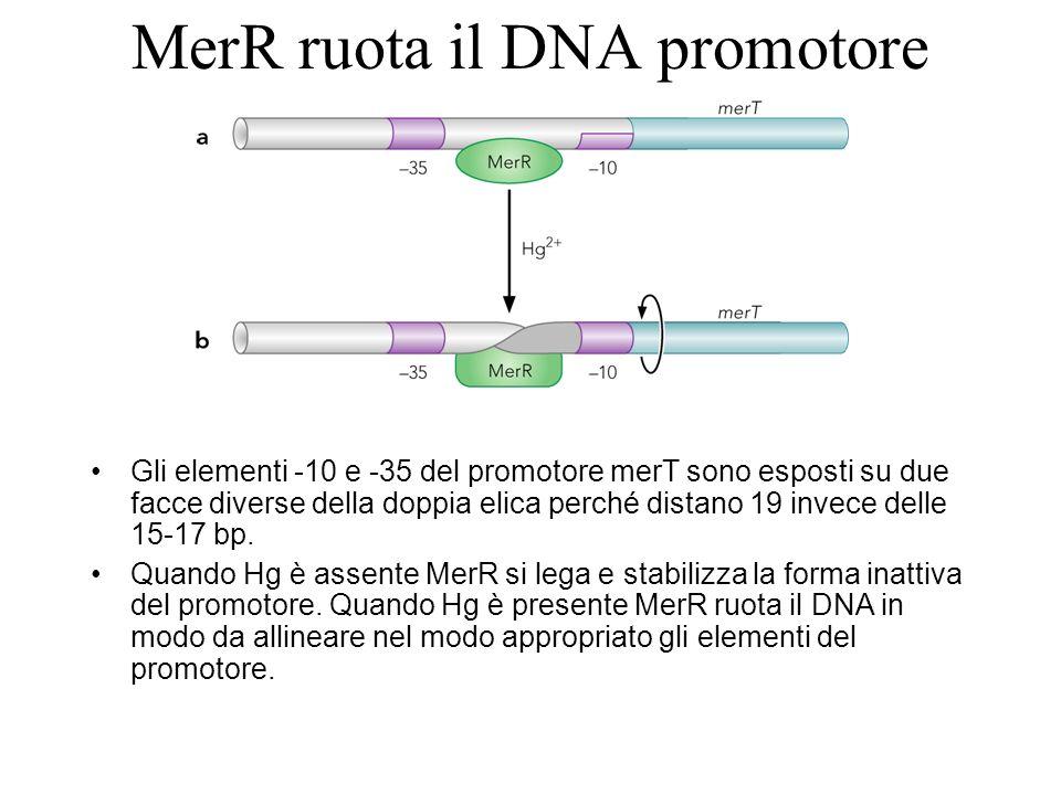 Il promotore mostrato è quello del genere bmr di Bacillus subtilis controllato dal regolatore di bmr.