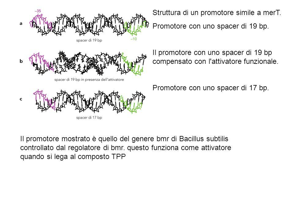 Alcuni repressori trattengono la RNA polimerasi Esempio: il repressore Gal di E.