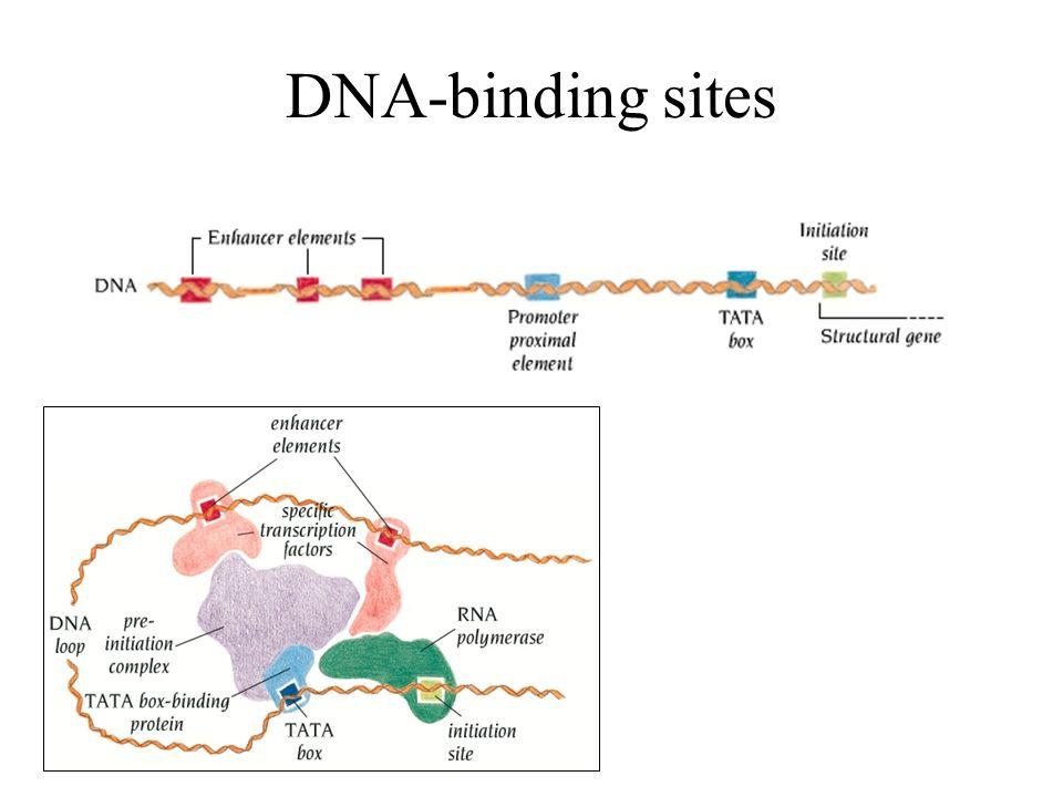 DNA piegato DNA mitocondriale di tripanosoma AAAANNN repeats formano molecole curve
