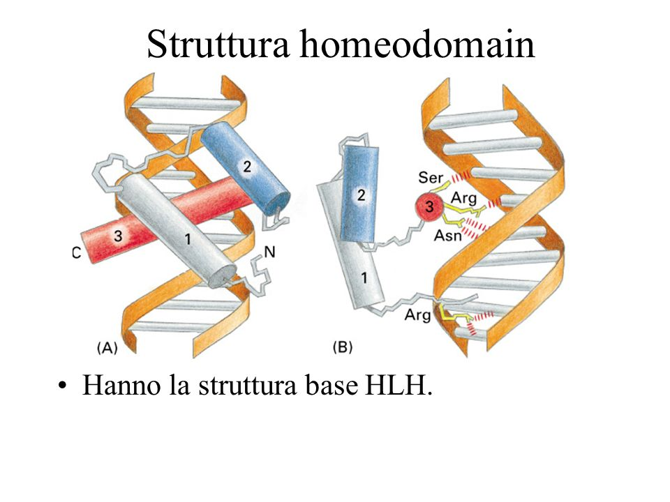 Homeodomains bind related targets in DNA The homeodomain is a DNA-binding domain of 60 amino acids that has three -helices.
