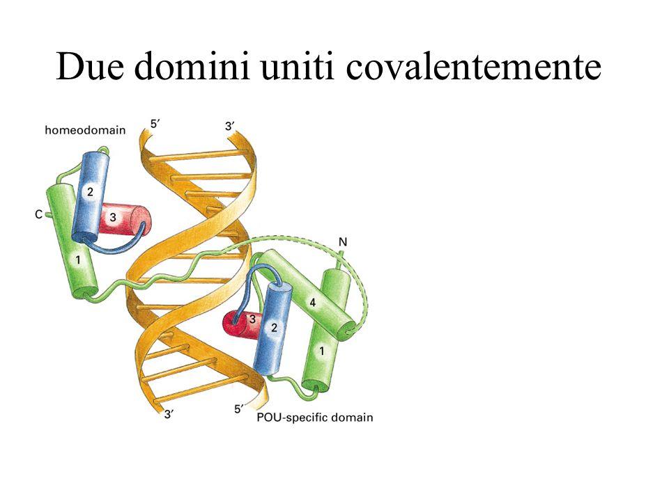 Il mitivo zinc finger è un DNA-binding domain Uno zinc finger è unansa di ~23 amino acidi che protrude da un zinc-binding site formato da His and Cys.