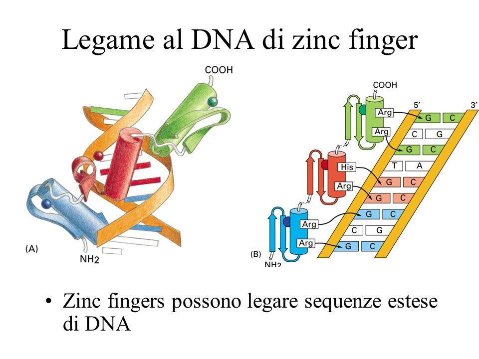 Dimero zinc finger Alcune zinc fingers possono dimerizzare