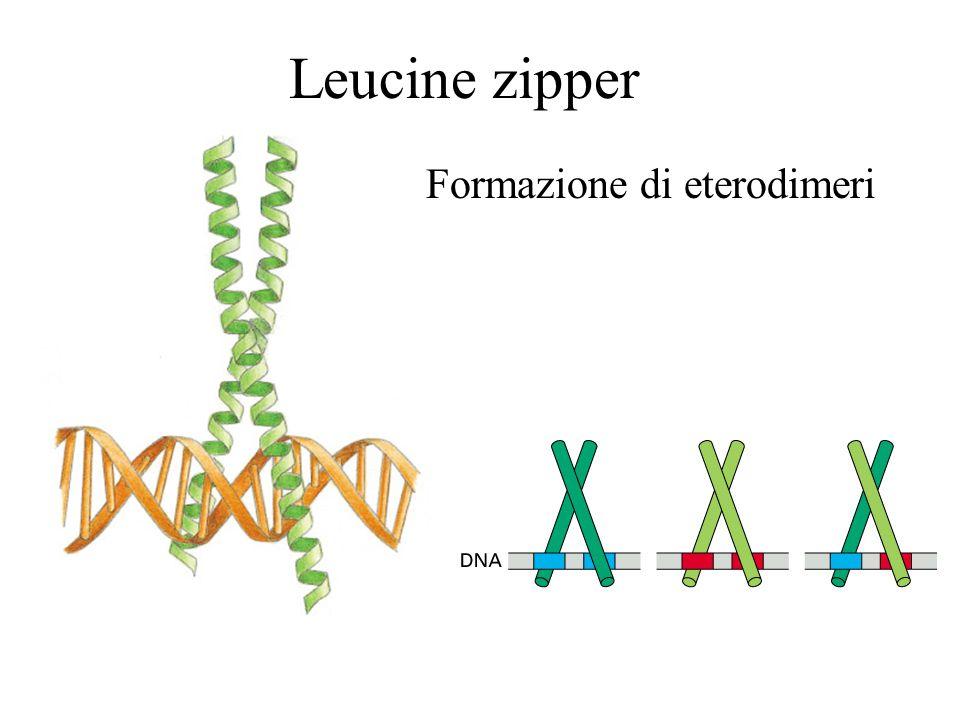 Le Leucine zippers formano dimeri La leucine zipper è una elica anfipatica che dimerizza.