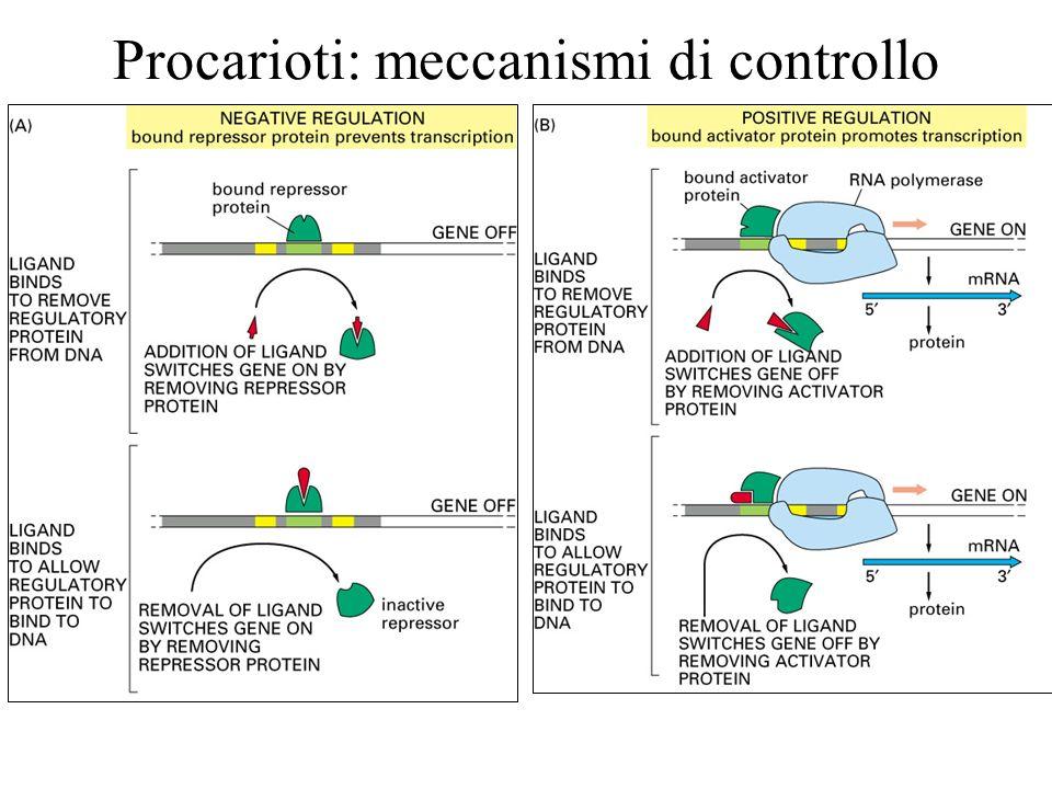 Operone Lac Loperone di Lac contiene tre ORF: lacZ: B- galattosidasi, lacY: permeasi del lattosio, lacA: trigalattoside transacetilasi.