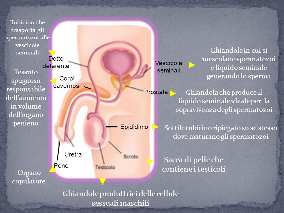 È prevalentemente interno ed è costituito essenzialmente da ovaie, utero e vagina Oltre a produrre cellule sessuali ospita il nuovo essere vivente fino al momento della nascita