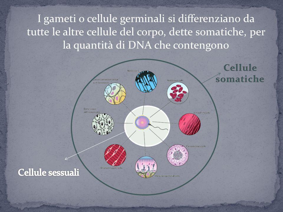Il DNA è la molecola nella quale è scritto il codice genetico caratteristico di ogni individuo, è presente nel nucleo di ogni cellula ed è distribuito all'interno di corpuscoli detti CROMOSOMI