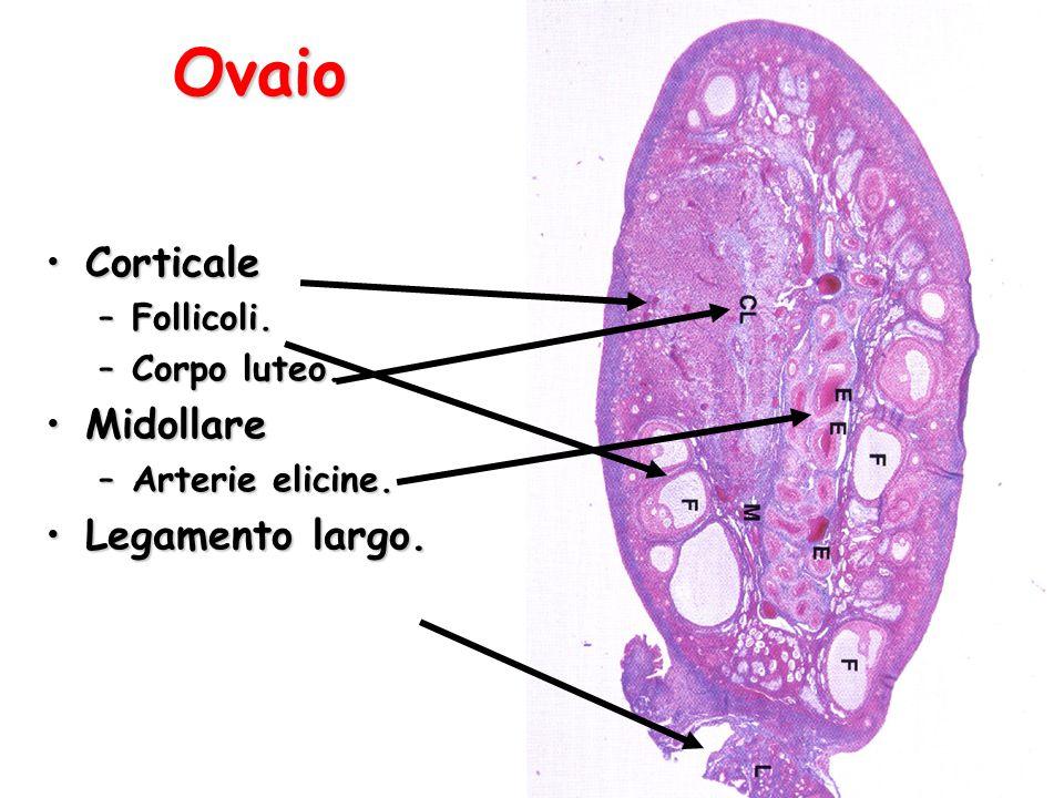 Ovaio Organo pari, forma di mandorla, 3x1,5-2 cm.Organo pari, forma di mandorla, 3x1,5-2 cm.