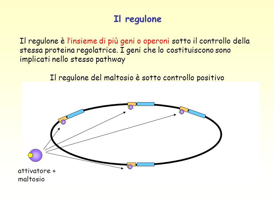 Gene o operonelocalizzazione arg A 60 min arg B-C-E-H 88 min arg D 72.5 min arg F 6 min arg G 68 min Il regulone per la biosintesi dell'arginina Esempio di regulone sottoposto a controllo negativo: tutti i geni per la catena biosintetica dell'arginina sono regolati da un repressore