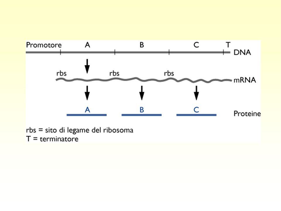 L'operone lac ZYAO lacZ:  -galattosidasi lacY:  -galattoside permeasi lacA:  -galattoside transacetilasi Geni strutturali mRNA policistronico regolazione coordinata: tutti i geni si esprimono all'unisono PI mRNA DNA proteine