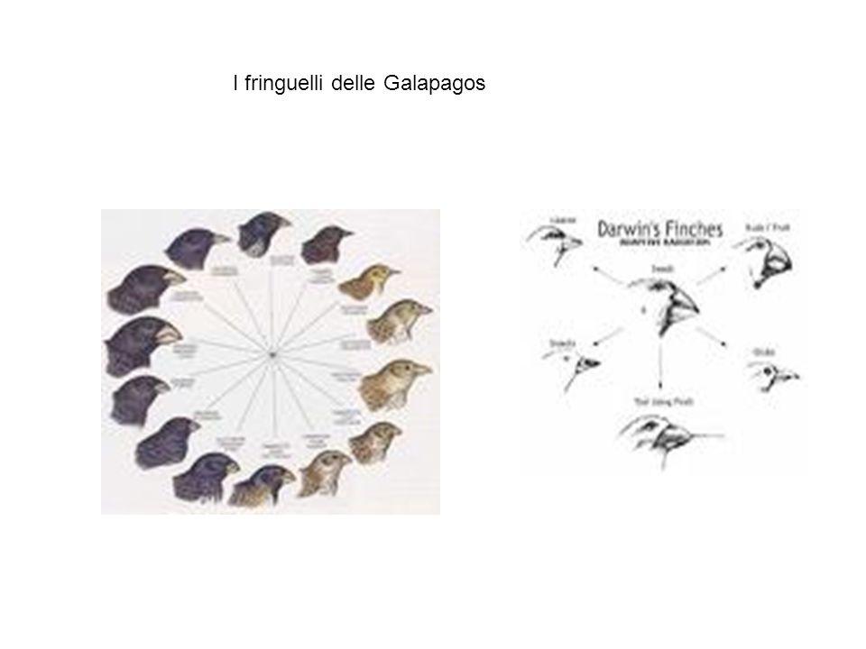 Come lavorava Darwin OSSERVAZIONE SPIEGAZIONE (teorizzazione) induzione Raccolta dei dati con metodo indiretto, ricorso a informatori (per lettera, mostrando fotografie e chiedendo conferma in modo suggestivo) Varietà delle fonti, ricerca del perché le espressioni delle emozioni hanno una certa forma