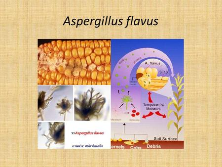 Aspergillus flavus. Invasione dei tessuti delle cariossidi di mais Mature B73 kernels naturally infected with Aspergillus flavus. A sagittal (1) and frontal.