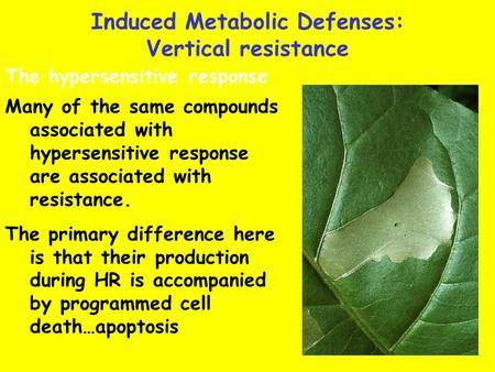 Many of the same compounds associated with hypersensitive response are associated with resistance. The primary difference here is that their production.