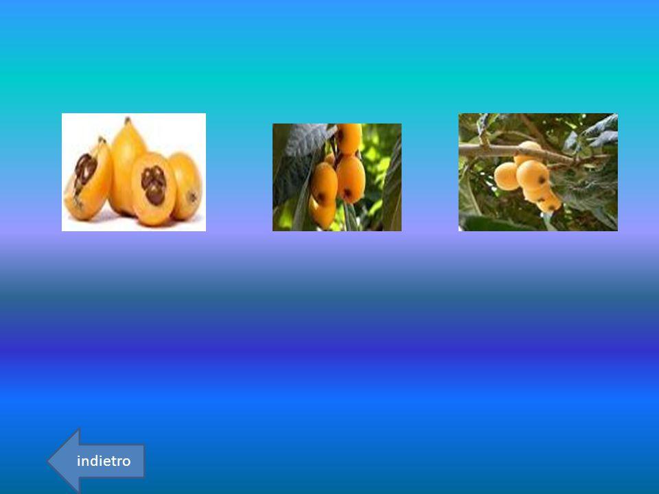 GASTRONOMIA La nespola comune è un albero di piccolo sviluppo selvatico parzialmente spinoso.Pianta poco comune e sporadica cresce accanto a siepi e boschetti collinari.I frutti sono abbstanza tondeggianti,abbastanza carnosi, di colore bruno-ferruginoso.durante la maturazione effettuata in periodi mirati la polpa assume il colore bruno indietro