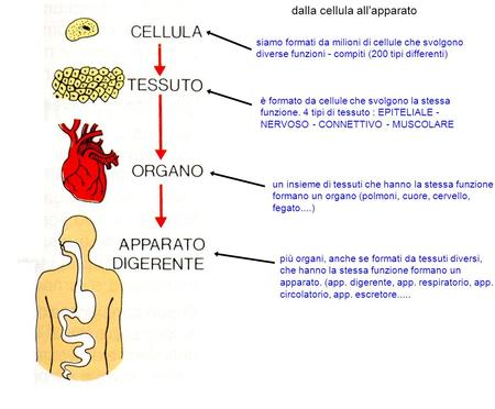 dalla cellula all'apparato