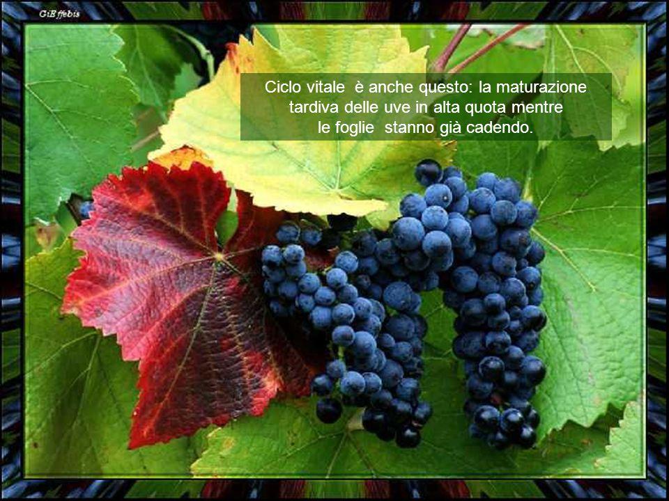 Ciclo vitale è anche questo: la maturazione tardiva delle uve in alta quota mentre le foglie stanno già cadendo.