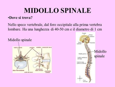MIDOLLO SPINALE Dove si trova?