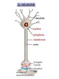 IL NEURONE.