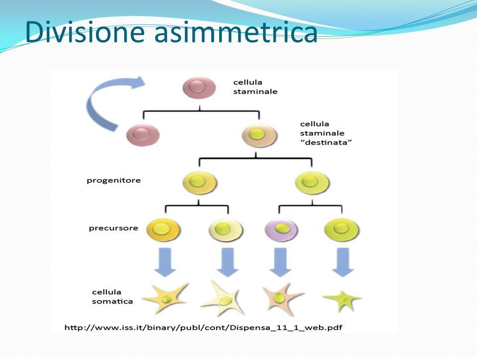 Esistono diversi tipi di cellule staminali che differiscono per la differente capacità proliferativa.