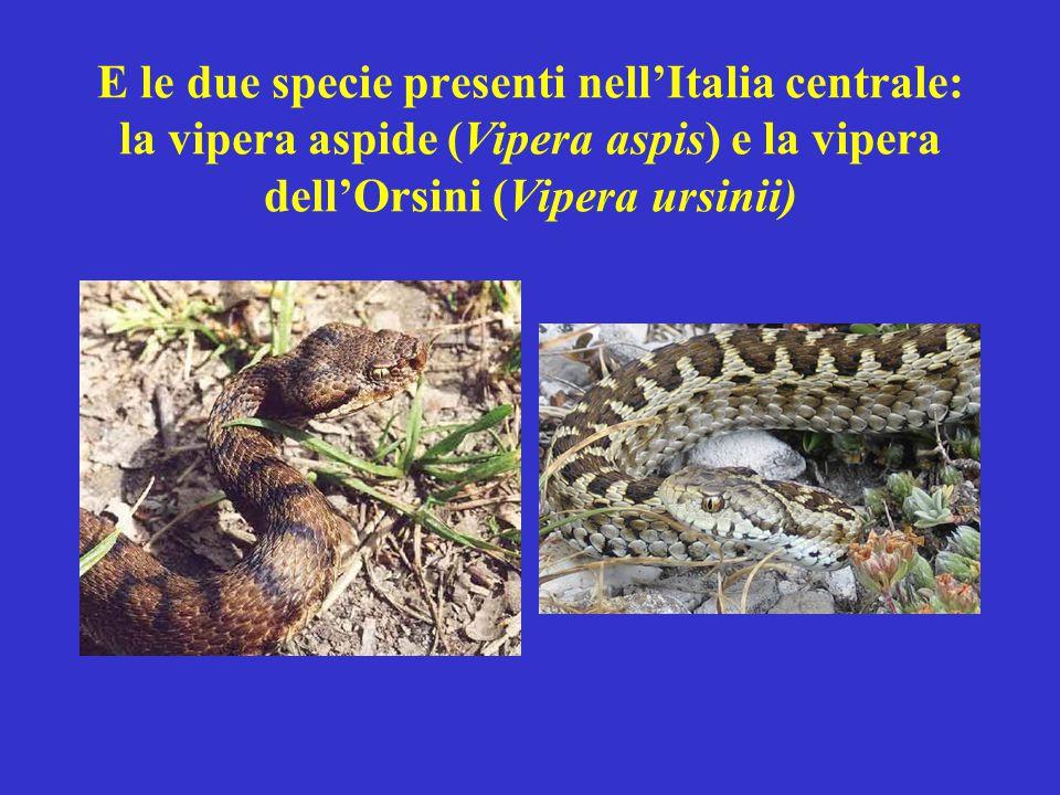 La vipera aspide è: comune in tutta la penisola tranne in Sardegna specie presente tanto in pianura quanto in montagna specie dal veleno piuttosto potente e potenzialmente pericolosa per l'uomo specie di medio-grosse dimensioni (65-80 cm)