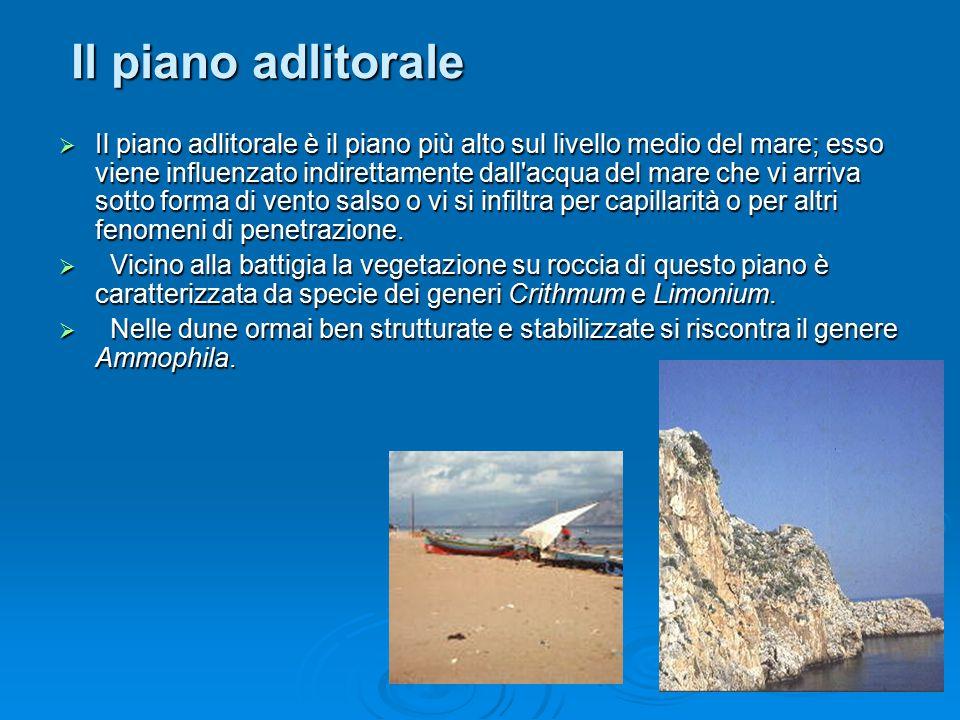 Il piano sopralitorale  Il piano sopralitorale si colloca nella zona di transizione tra l ambiente terrestre e quello marino.