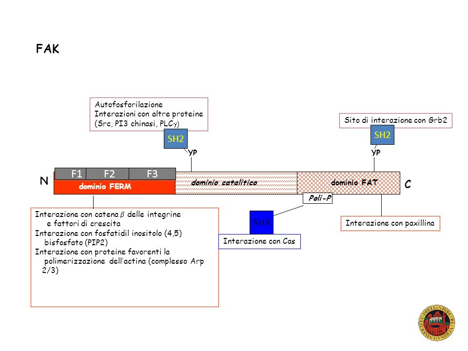 Anche FAK come Src viene attivata in seguito alla rottura di interazioni intermolecolari che la mantengono in uno stato inibito.