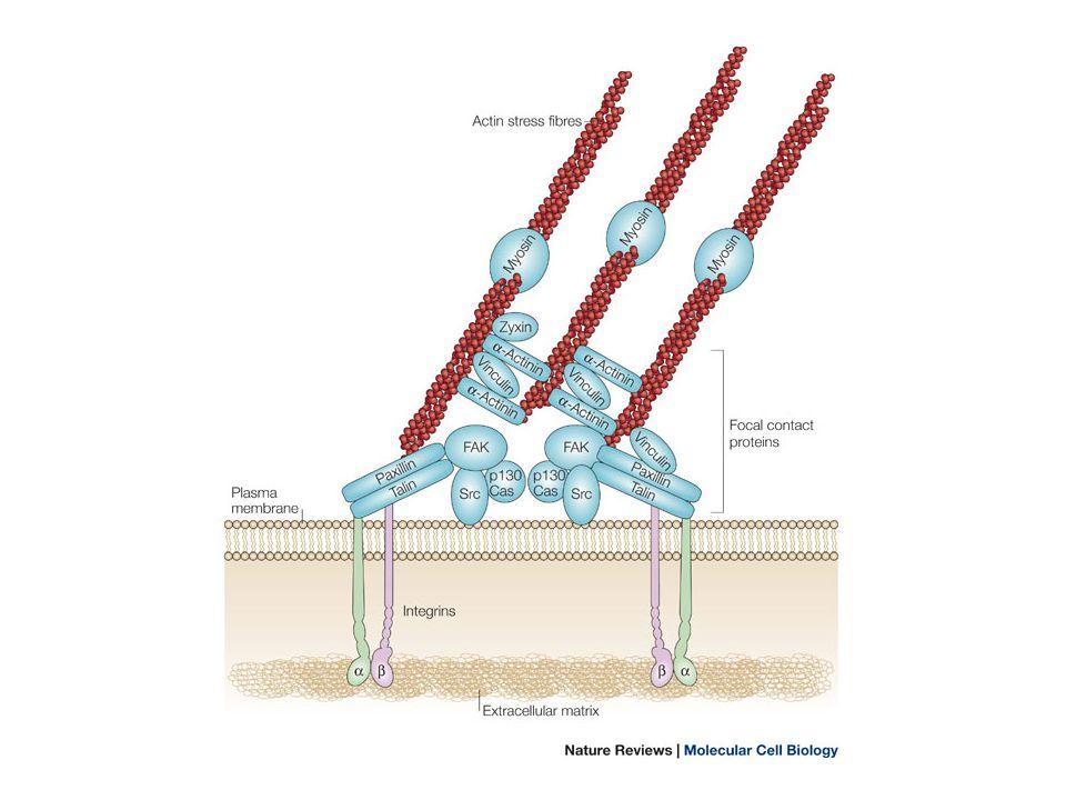 FAK YP397 SH2 SH3 Src PY PI3KAKT PROLIFERAZIONE E SOPRAVVIVENZA Il distacco da proteine della matrice extracellulare induce una forma di apoptosi (chiamata anoikis ) che determina il fenomeno della cosiddetta crescita dipendente dall'ancoraggio