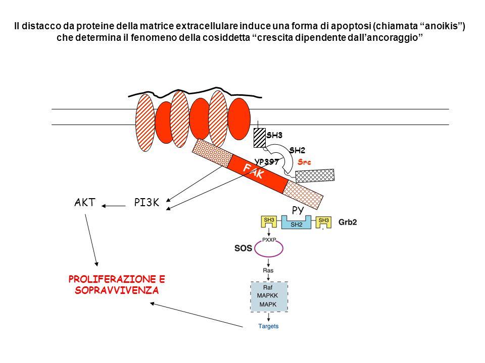 FAK YP397 SH2 SH3 SH1 Src YP925 Grb2 Poli-P Sos Ras Raf MAPK MAPK (ERK1/2) TRASCRIZIONE GENICAProliferazione e sopravvivenza cellulare Cas PY CrkPoli-P Dock180 Rac PAK JNK Polimerizzazione dell 'actina e protrusione del lamellopodio Movimento cellulare PI3-chinasi P PP P PP Fosfatidilinositolo 3,4,5 fosfato PH GEFs Rac, Cdc42 PIP5-chinasi  Fosfatidilinositolo 4,5 fosfato P P P P PLC  IP3 paxillina Interazione con altre Proteine cito- scheletriche e segna- lanti