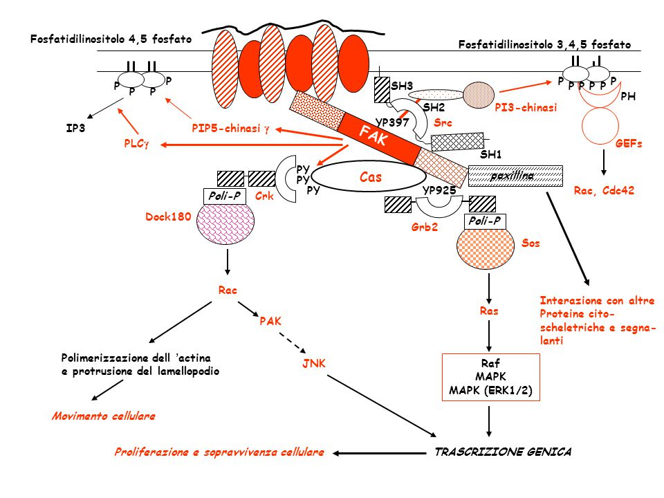 FAK, Src e altre chinasi vengono inibite da tirosin fosfatasi che sono sensibili all'azione inibitoria di ROIs Protein fosfatasi attiva Protein fosfatasi inattiva FAK, Src, GF-Rs, MAP chinasi (JNK, ERKs) attive FAK, Src, GF-Rs, MAP chinasi (JNK, ERKs) inattive