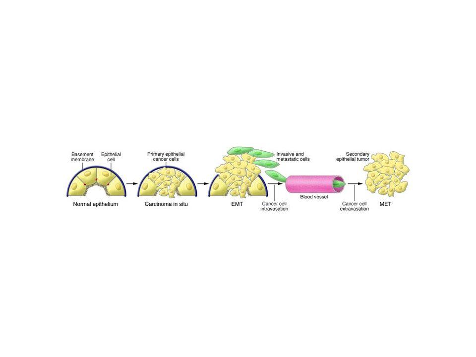 giunzioni serrate (tight junction) giunzioni aderenti (adherens junctions) E-caderina  cat.