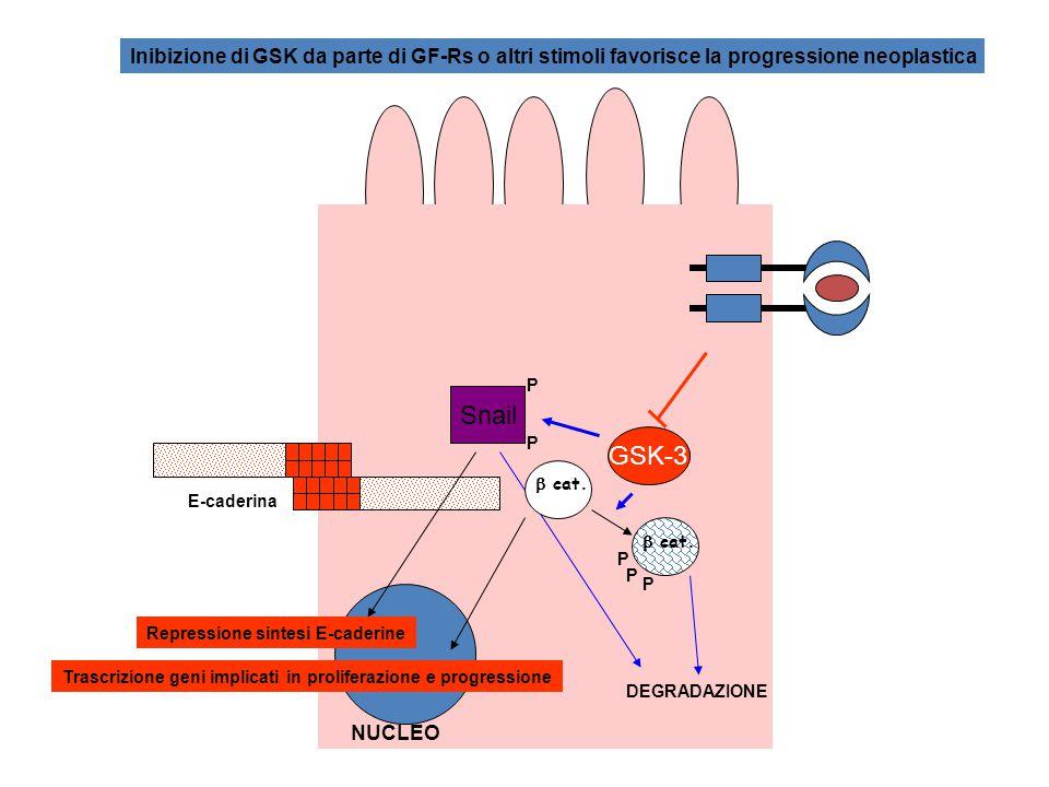 Un meccanismo aggiuntivo di regolazione della funzione di  catenica è rappresentato da un suo aumento di espressione in cellule stimolate con proteine wnt (ampia famiglia di fattori di crescita poco caratterizzati) Gene onco-soppressore, la cui mutazione in cellule della linea germinale determina la Poliposi Adenomatosa Famigliare del Colon