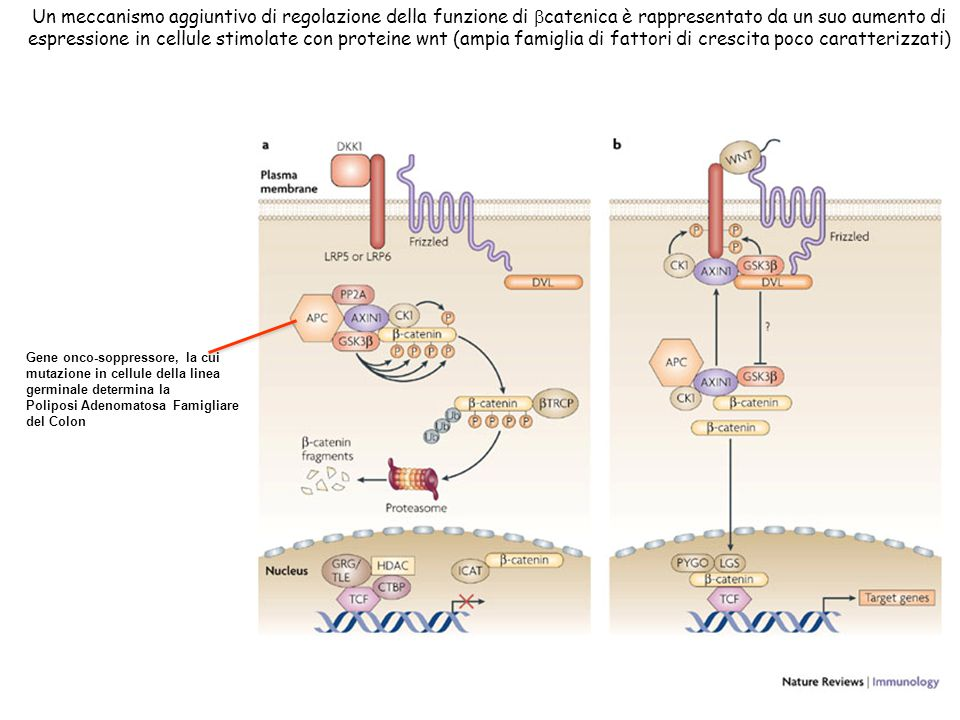 a | In the absence of WNT signalling, -catenin levels in the cytoplasm and nucleus are low as a result of continuous phosphorylation by the serine/threonine kinases CK1 (casein kinase 1) and GSK3 (glycogen synthase kinase 3), leading to binding of -transducin-repeat-containing protein (TRCP) and to ubiquitylation and degradation by the proteasome.