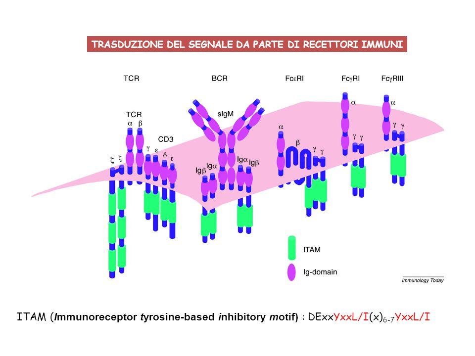 ITAM ITIM: I/VxxYxxL/V Fc  RIIA Fc  RIIB Immunoreceptor tyrosine-based inhibitory motif