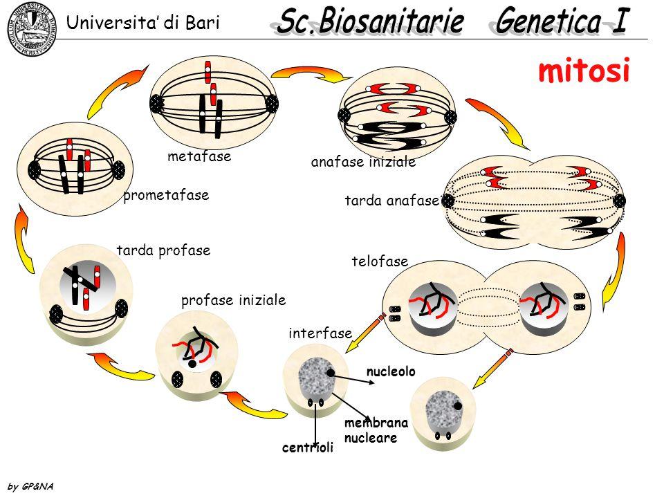 Durata degli stadi della mitosi (min) organismo profasemetafaseanafasetelofase topo (milza) 211354 pollo (culture cellule mesenchimali) 30-602-103-72-10 cavalletta neuroblasti 10213957 embrioni riccio di mare 19171218 cipolla (apici radicali) 716,52,43,8 pisello (apici radicali) 7814,44,213,2 Universita' di Bari by GP&NA