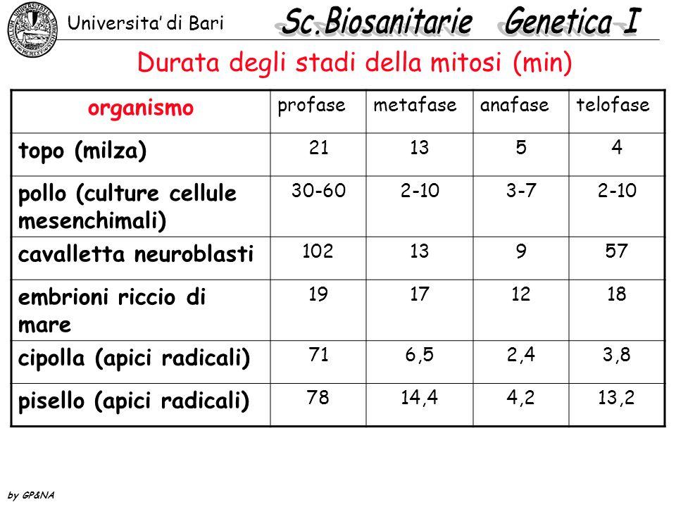 meiosi interfaseleptotenezigotenepachitenediplotene metafase I anafase I telofase I metafase II anafase II metafase II anafase II gameti diacinesi Universita' di Bari by GP&NA