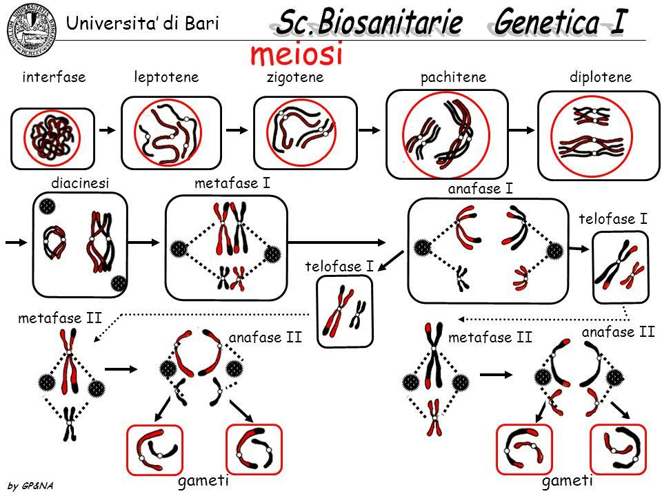 Punti di controllo della meiosi 1.inizio della replicazione: l'arresto avviene alla fine della replicazione, prima della sinapsi e ricombinazione 2.