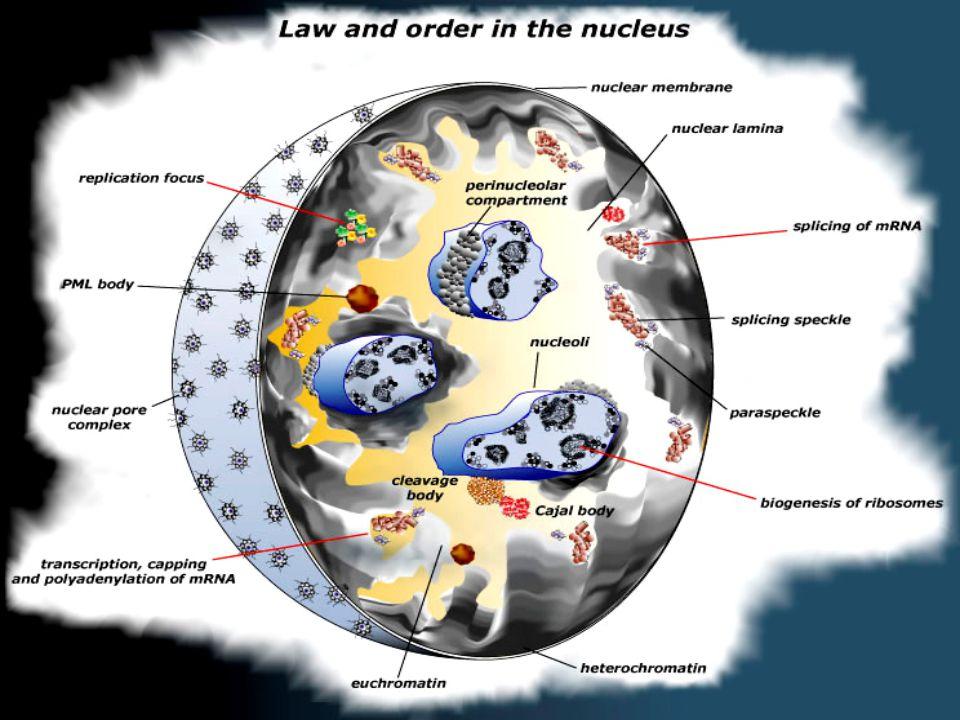 Cellule senza Nucleo EritrocitiEritrociti –Globuli Rossi –Nucleo espulso durante l'eritropoiesi –Non si dividono –Pochi altri organelli –Diametro di 8- 10 µm