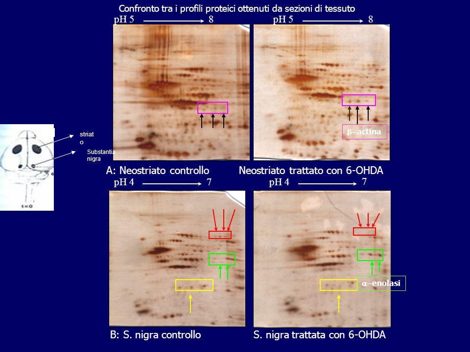 pH4 pH7 pH4 pH7 Separazione miscela proteica di substantia nigra di ratto emiparkinsoniano mediante elettroforesi bidimensionale